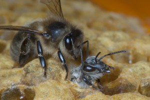 Bees-Colony-collapse-disorder_Laurent-Geslin_14