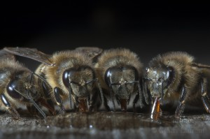 Bees-Colony-collapse-disorder_Laurent-Geslin_15