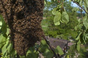 Bees-Colony-collapse-disorder_Laurent-Geslin_17