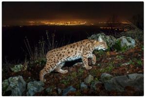 Lynx et la ville