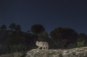 South Andalusia is a stronghold of the most threatened cat on Earth. The Iberian lynx (Lynx pardinus). Here a wild female roaming its territory at night.