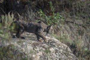 There were only about 90 lynx in the wild in 2000, a census carried out in 2015 found around 400 individuals.