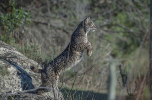 """Fincas"" are private lands in Andalusia, they are bordered by high fences. Iberian lynx often needs to jump over it in search of food."