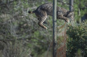 Like every cat, the Iberian lynx is very agile and can easily jump over fences.
