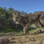 An Iberian lynx can live in a small territory of 3 to 6 km2, as long as there is enough food.