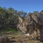 All four species have tufted ears and a spotted coat, but the Iberian lynx has the most prominent whiskers.