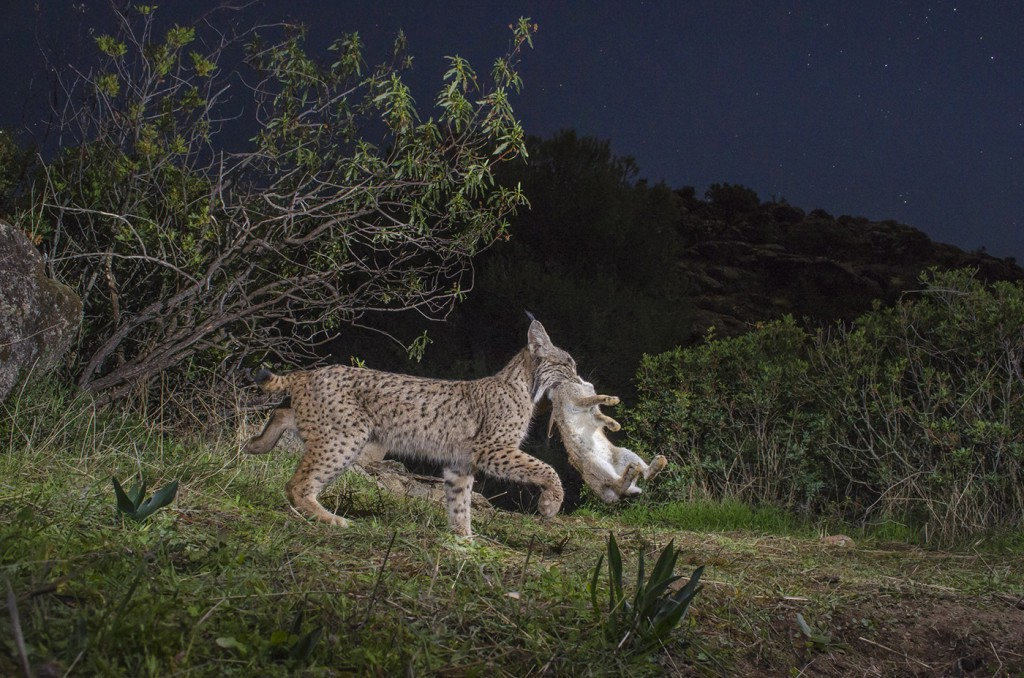 iberian lynx conservation The iberian lynx (lynx pardinus) is a critically endangered wild cat that can be found in increasingly small numbers on the iberian peninsula the iberian lynx population is decreasing due to the loss of its primary prey, rabbits, as well as habitat loss.
