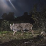 The Iberian lynx is diurnal and nocturnal but will prefer roaming its territory at night during the hot months of the summer.