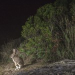 Lately, a new strain of haemoragic disease has reduced rabbit populations by over 50 per cent in some Iberian lynx territories.