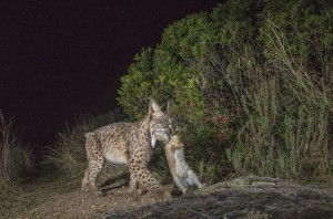 If Iberian lynx hunt mostly rabbits, males can also put down young fallow deers, mouflon and even red deer fawn.
