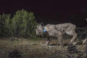Scientists are fitting lynx with collars to find out about their home range and their behavior.
