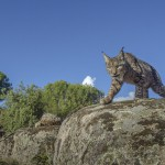 Beautiful wild female Iberian lynx being caught by a camera trap.