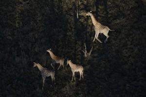 giraffa-camelopardalis-20090815-063147